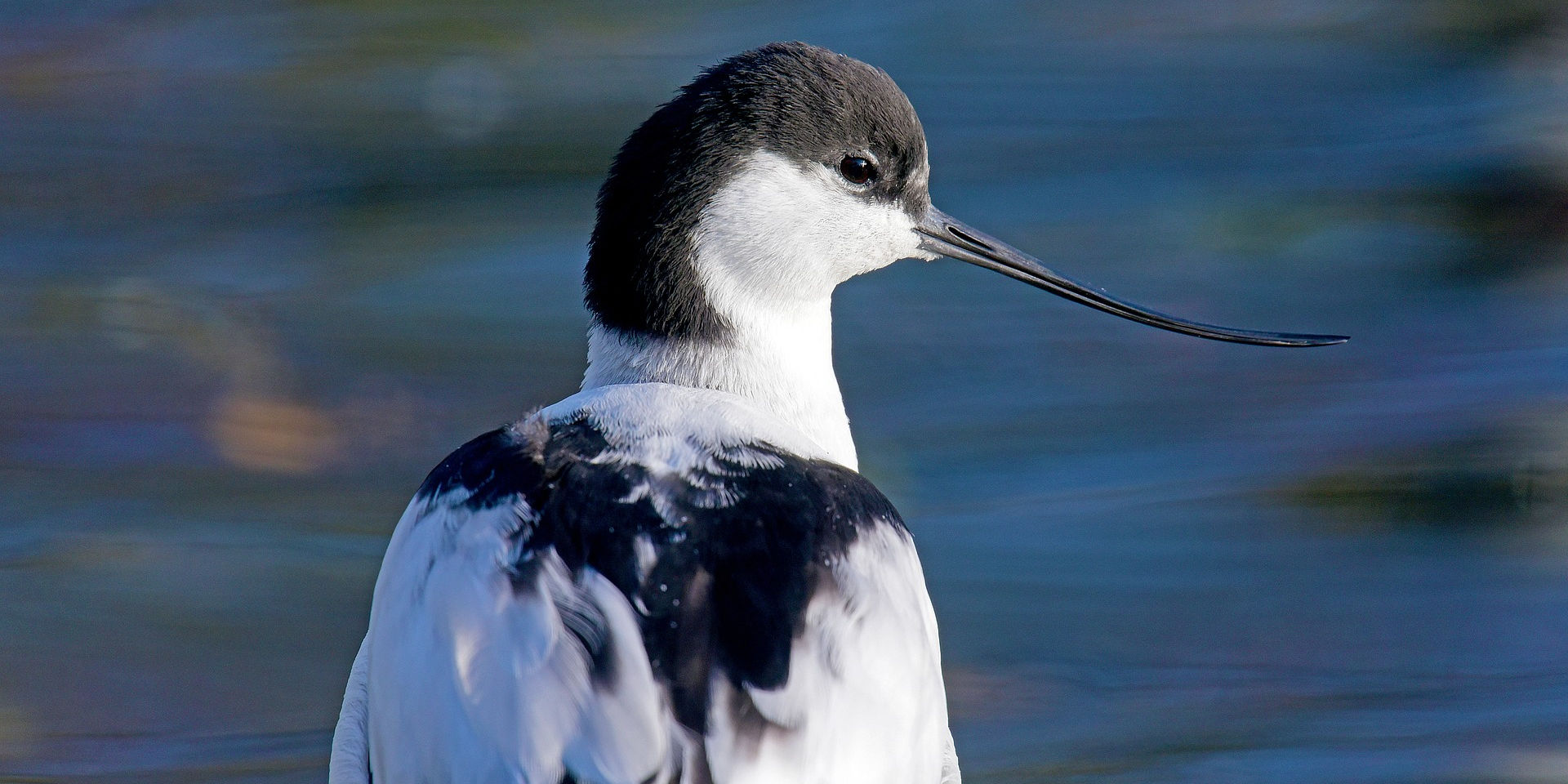 Avocet. Photo credit: Georg_Wietschorke on Pixabay.