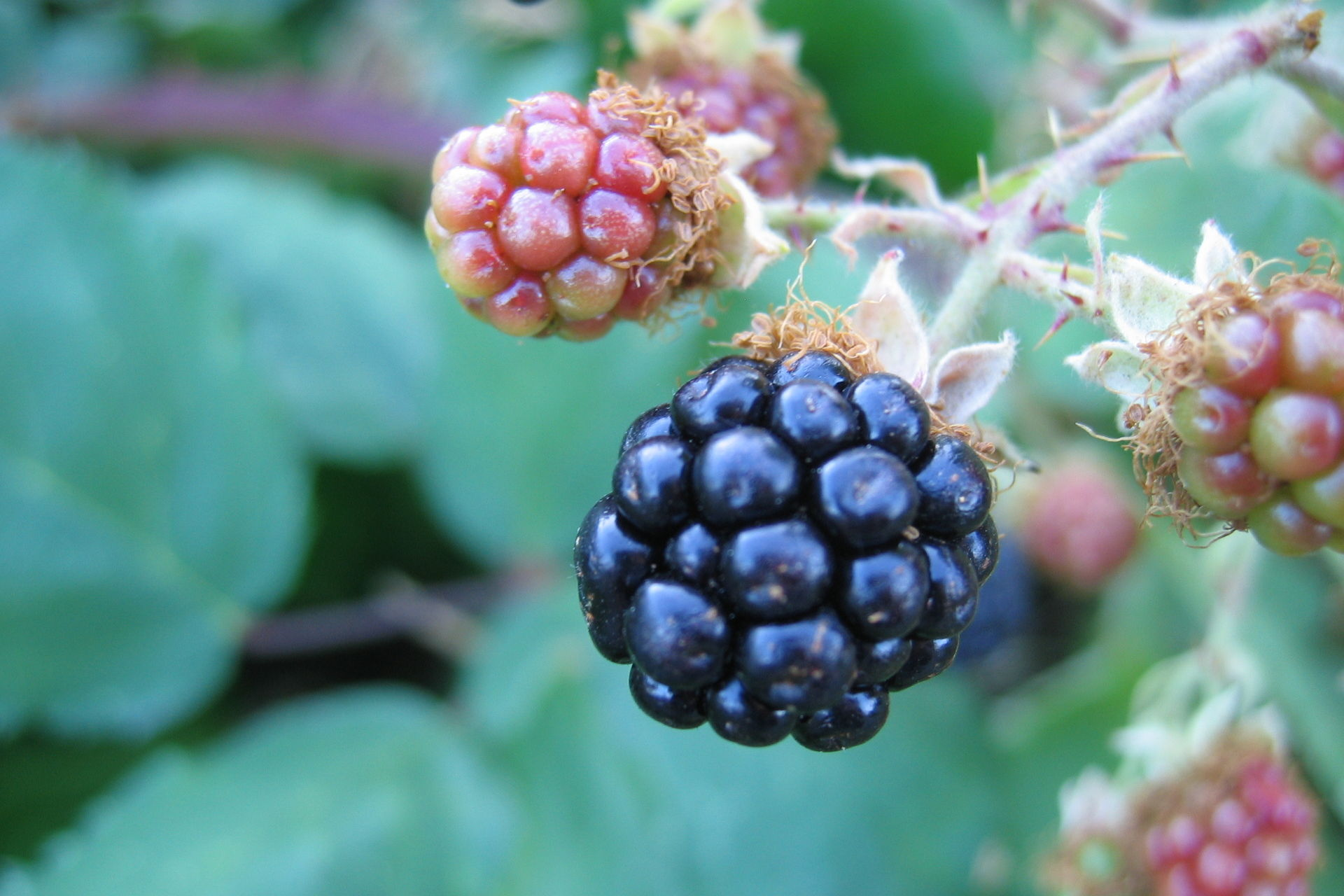 Blackberries. Photo credit: Benjamin Stangland via Free Images.