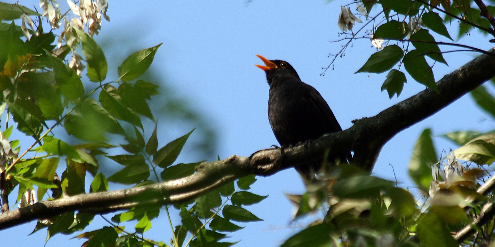 Blackbird singing. Photo credit: Alexander Wallnöfer via Free Images.