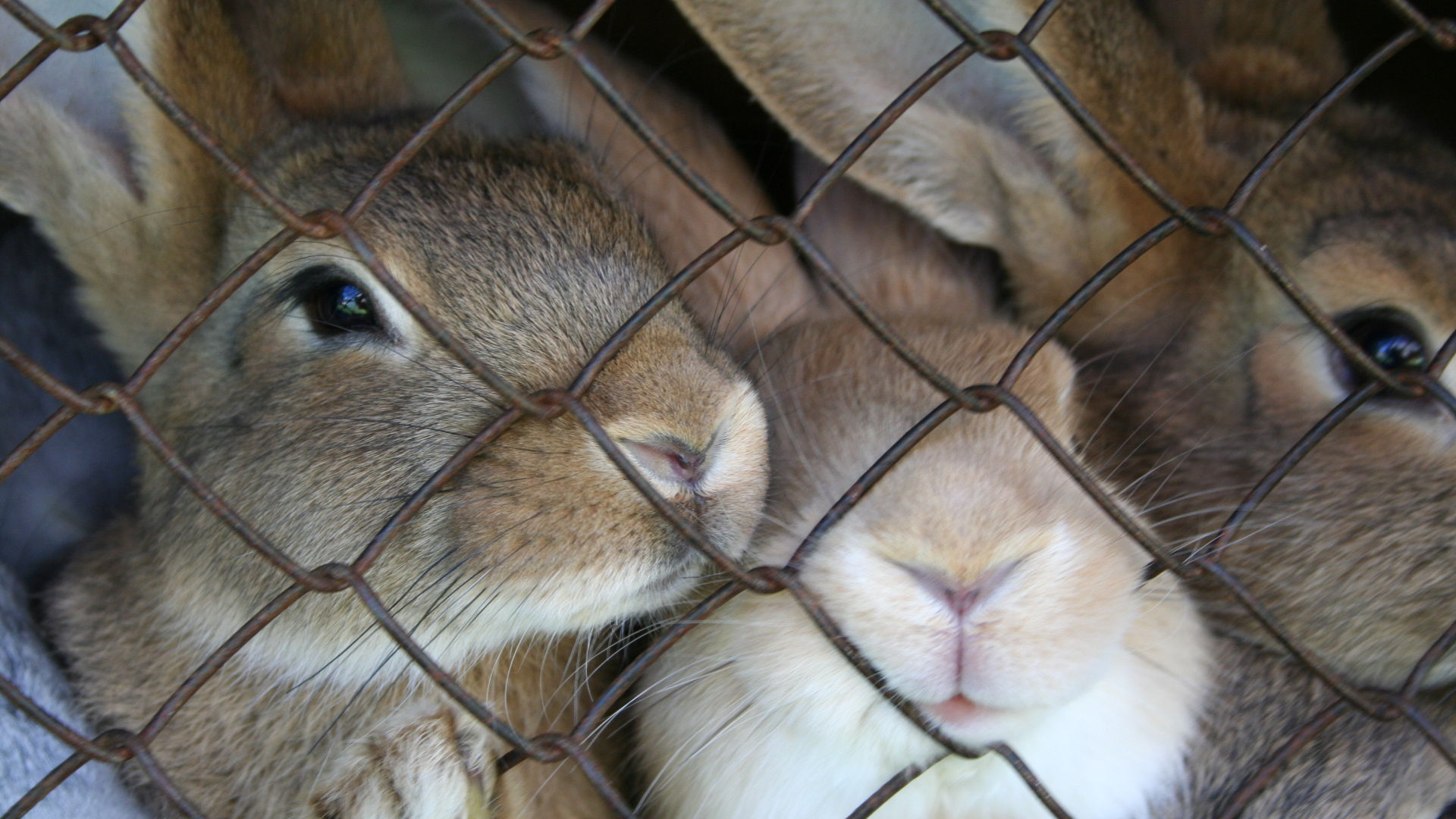 Caged rabbits. Photo credit: Nauris Mozoleff on Free Images.