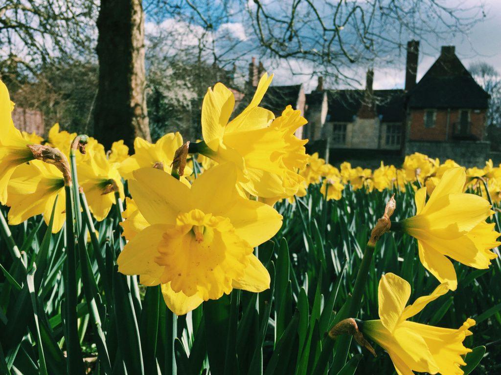 Daffodils. Photo credit: Sarah on Unsplash.