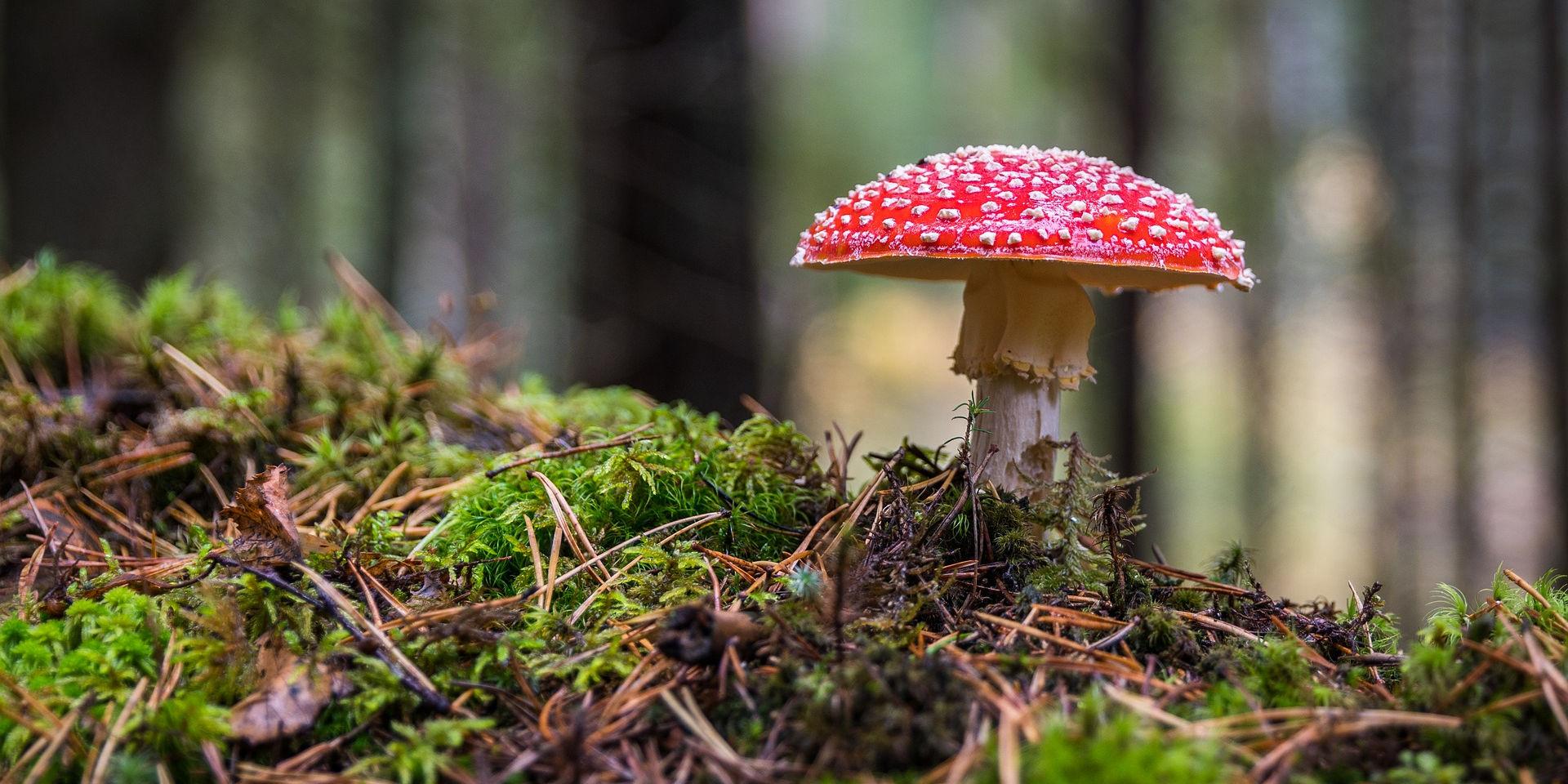 Emerging mushroom. Photo credit: ekamelev on Pixabay.