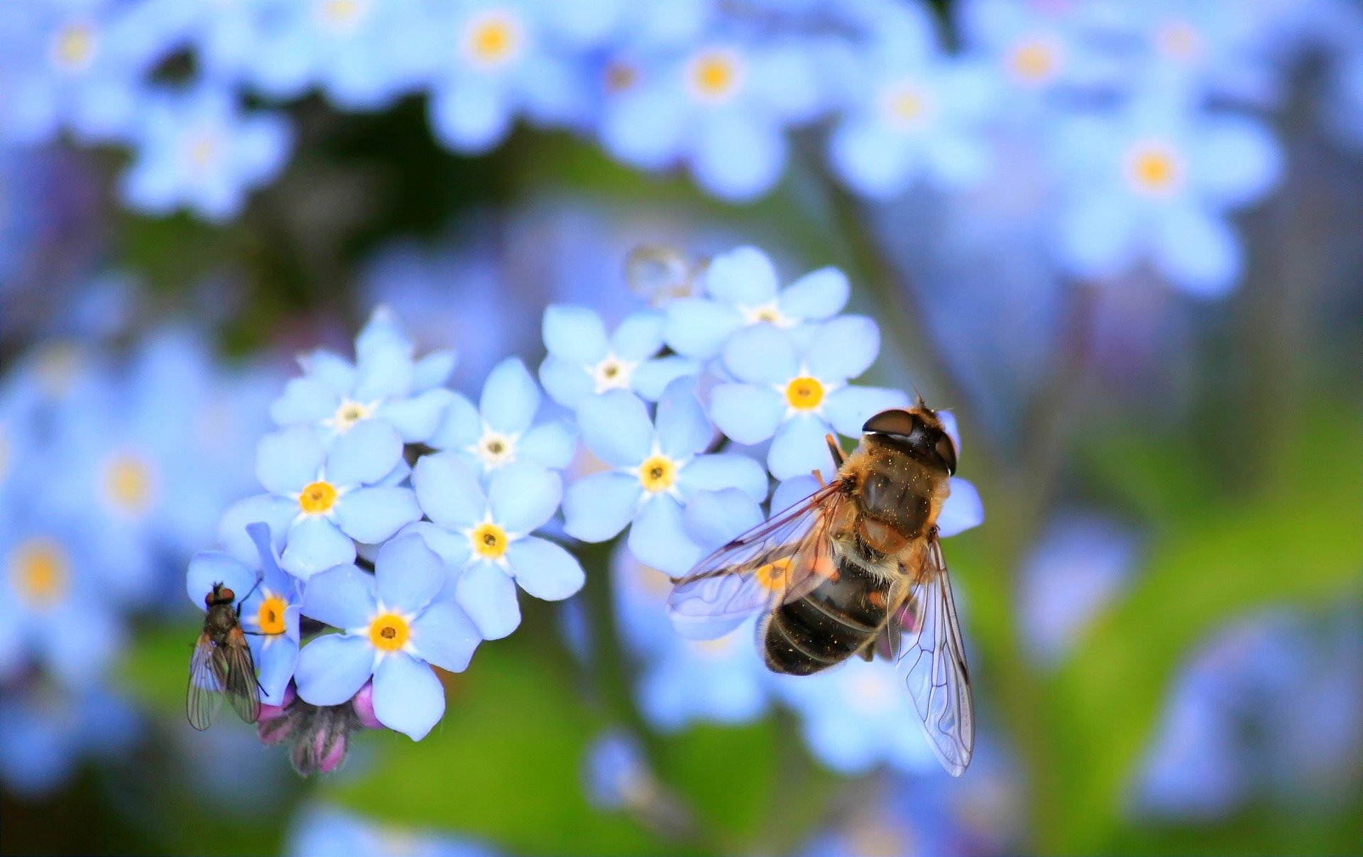 Hoverfly on forget-me-not. Image credit: cocoparisienne on Pixabay.