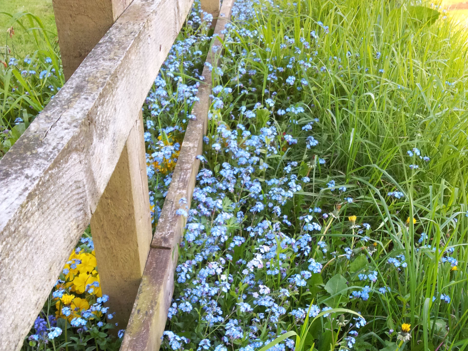 Forget-me-nots on the verge of Ludwell Valley Park... now wantonly strimmed!