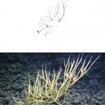 """Bamboo Coral"", with ""Fal"". Photo credit: Hawaii Deep-Sea Coral Expedition 2007/NOAA."