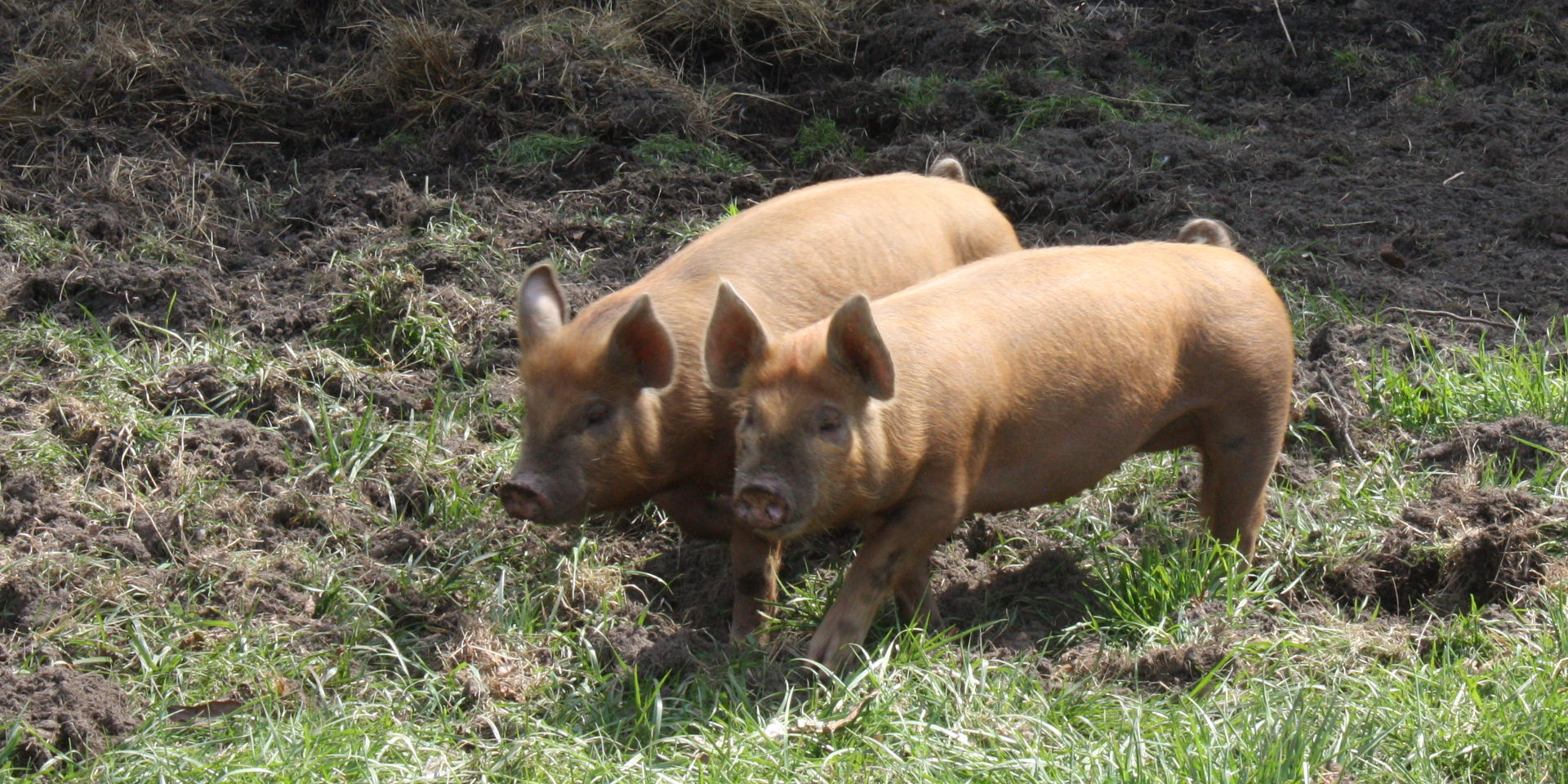 -den means pasture, usually for pigs. Photo credit: Fran Linden on Free Images.