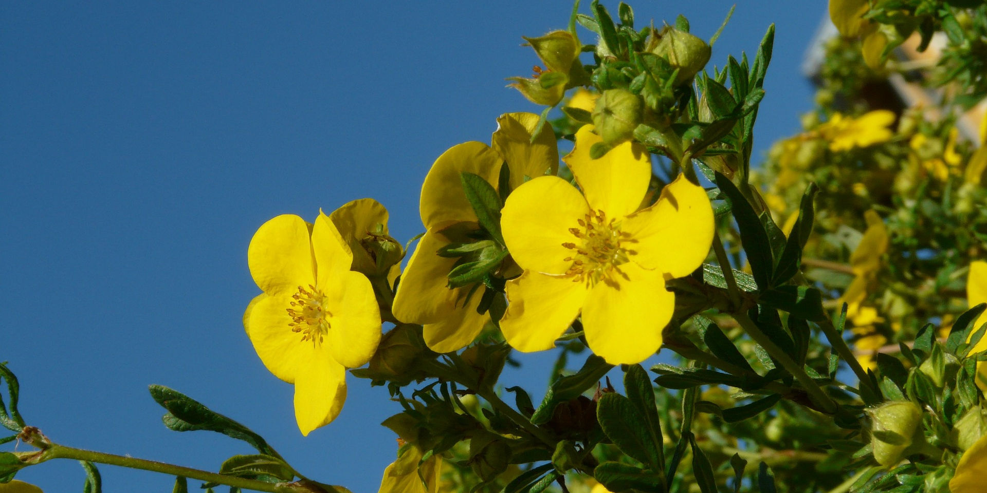 Potentilla goes mad in suburbia! Photo credit: Hans via Pixabay.
