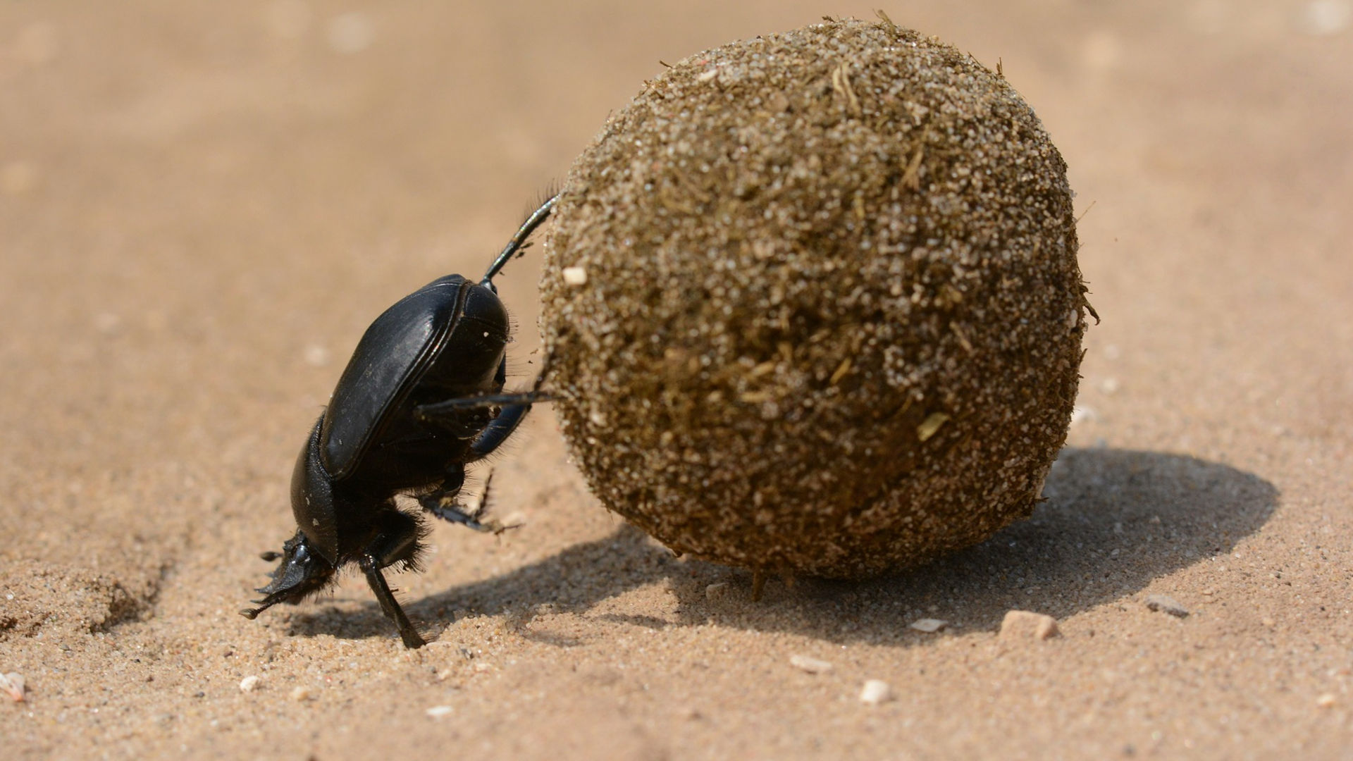 Sisyphean dung beetle. Photo credit: Topi_Pigula on Pixabay.