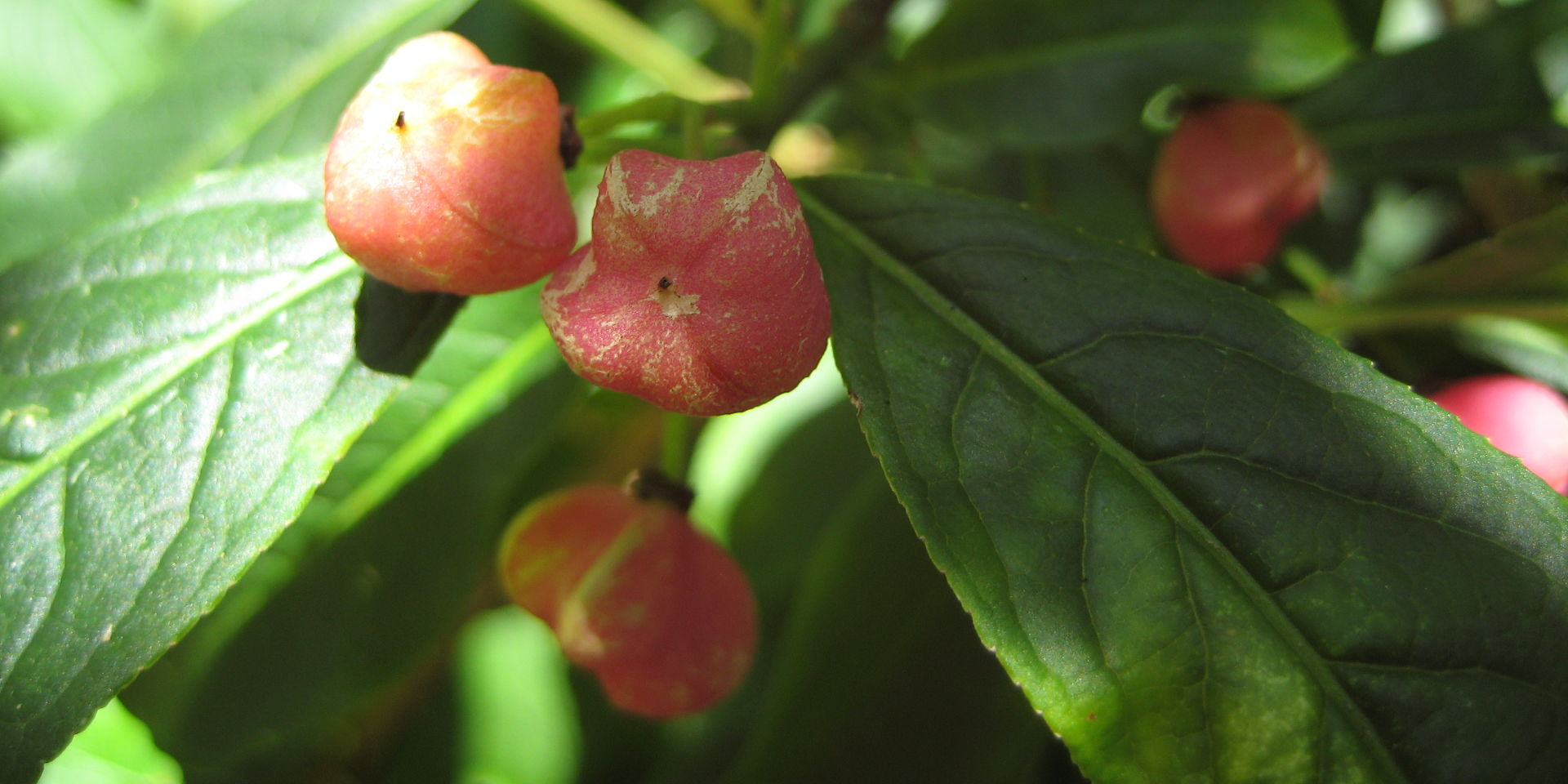 Spindle on Woodwater Lane