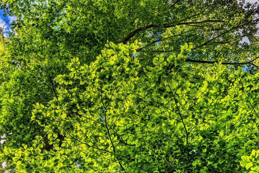 Tree canopy. Photo credit: FelixMittermeier from Pixabay.