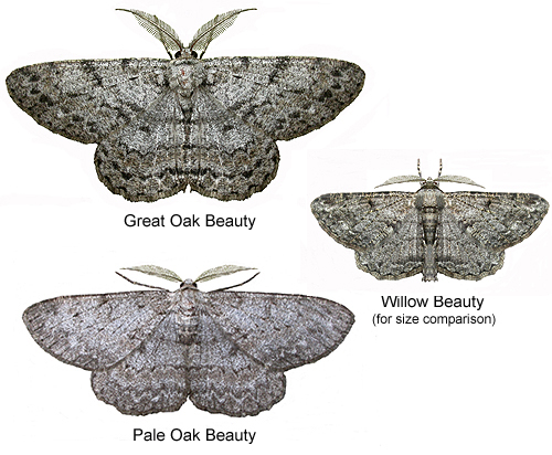 Moths - Beauties